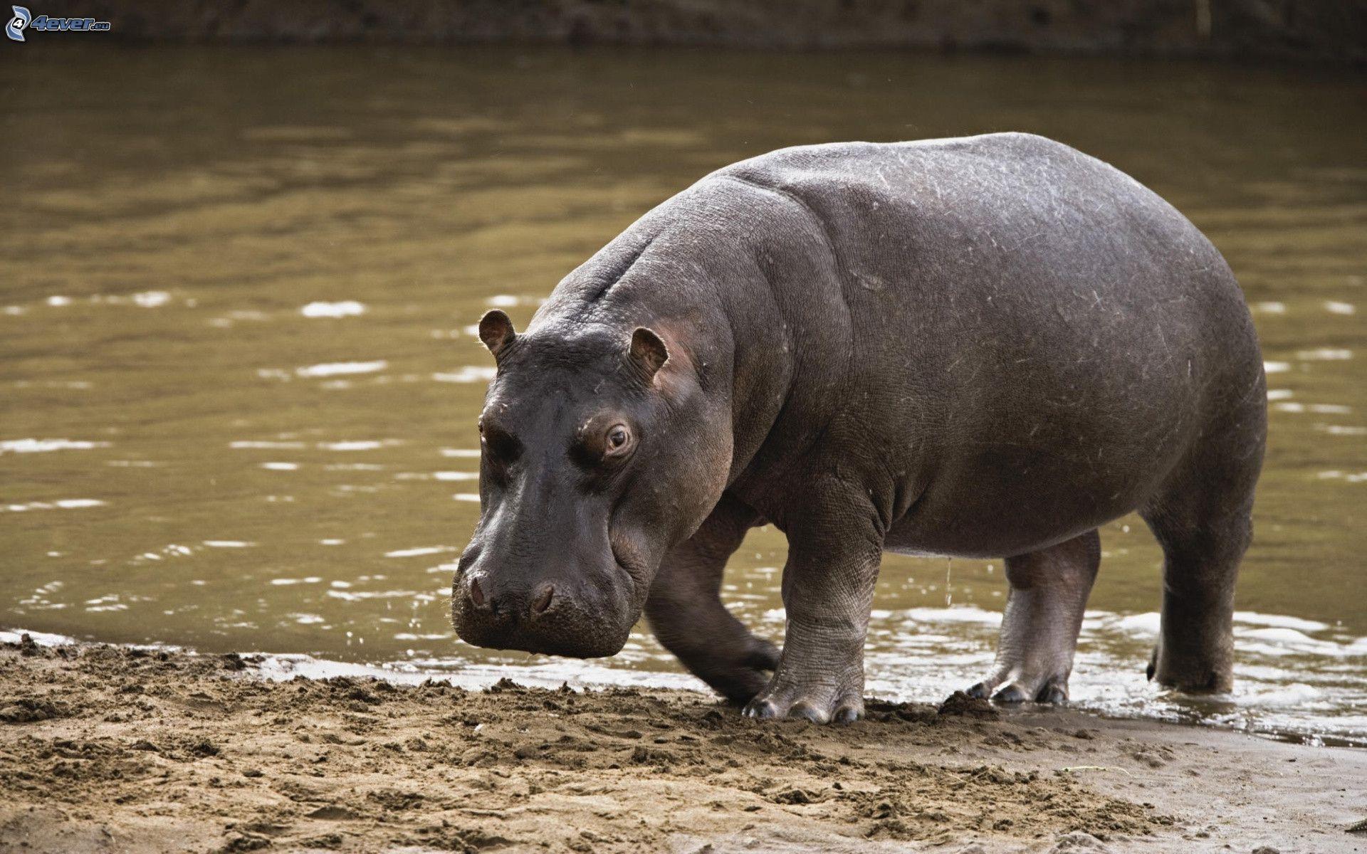 Znalezione obrazy dla zapytania hipopotam