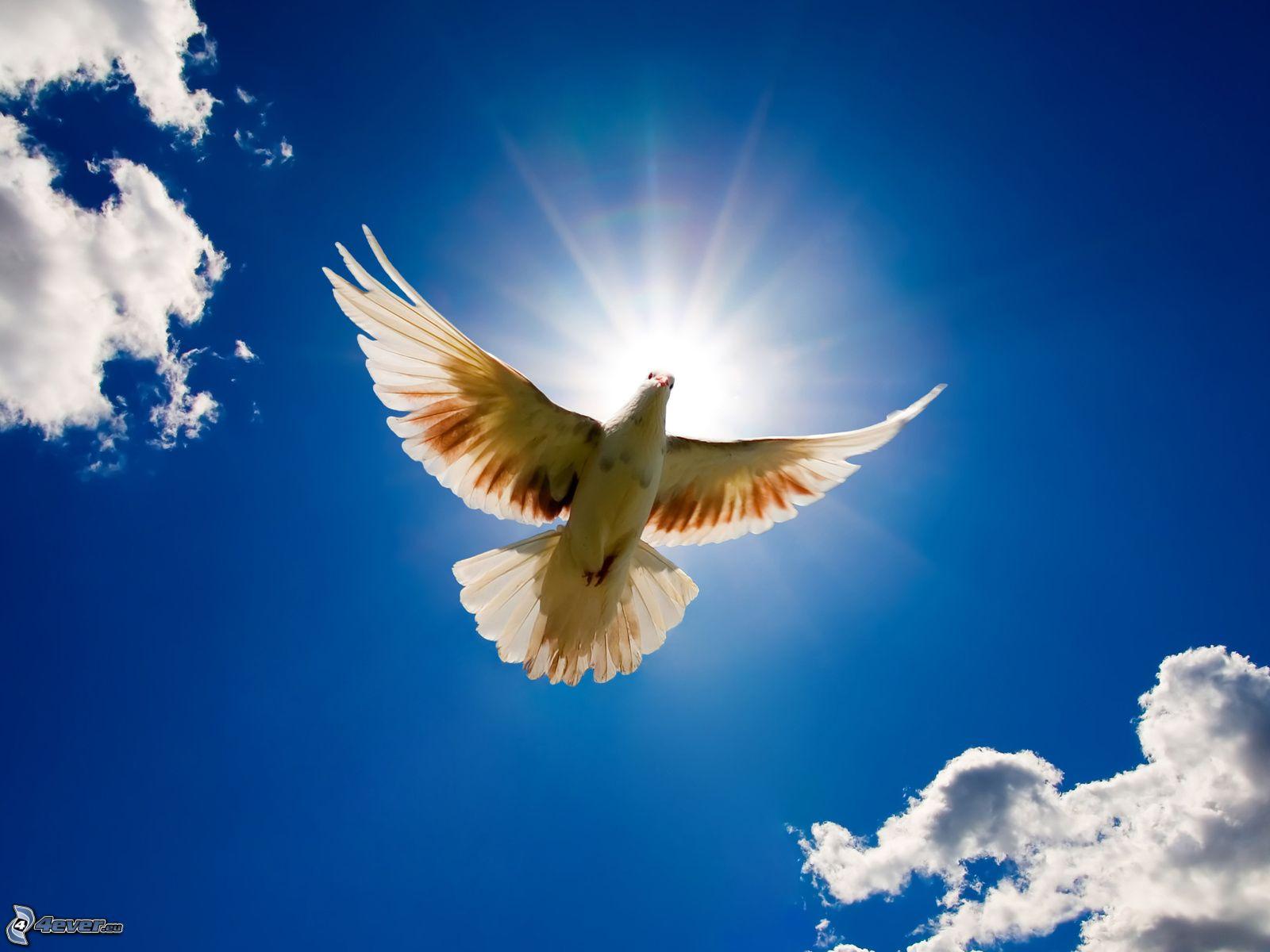 Znalezione obrazy dla zapytania gołębica